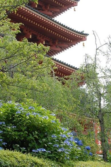 紫陽花祭り - 2    IN 高幡不動尊)