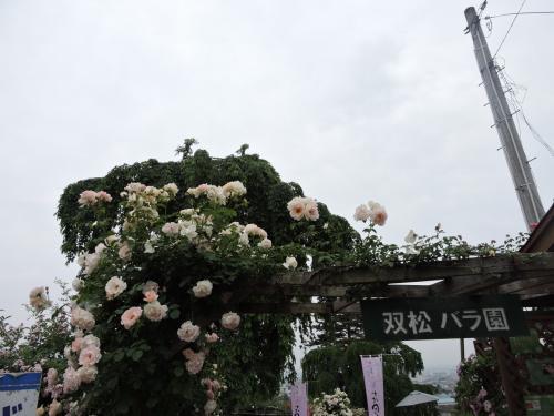 双松公園のばらを見に。