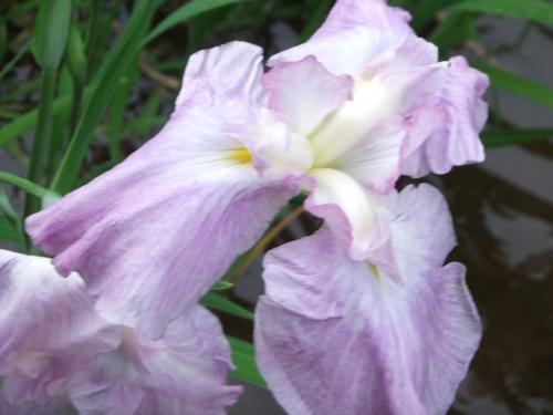花菖蒲のいろいろ色が見れる明治神宮内苑