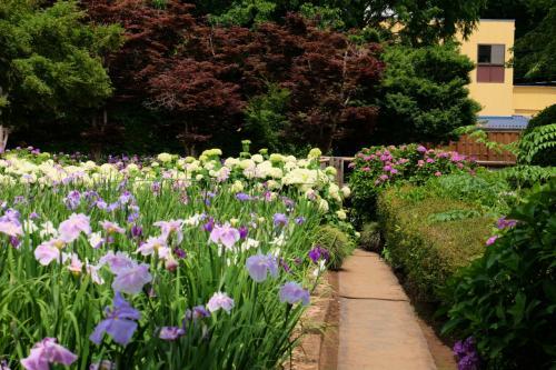 2015 花菖蒲シリーズ−4 個人で造りあげた 素晴らしい「染谷花しょうぶ園」 下