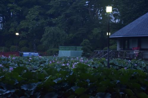 「俺ガイルラッピングモノレール」を追いかけて千葉公園の大賀ハスを見に訪れてみた