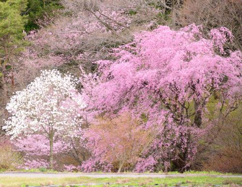 青空に一本桜 を求めて! でも、それ以外の桜にも目がいきます