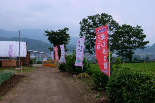 下仁田あじさい園 見晴らしい良い 斜面に美しくに咲く あじさいたち 上