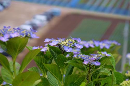 下仁田あじさい園 見晴らしい良い 斜面に美しくに咲く あじさいたち 中