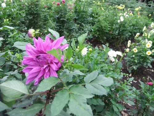 ダリアが咲いていた小金井公園