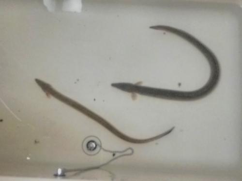 今年の初物、ウナギ釣り2匹ゲットしました