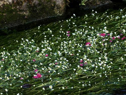 真夏の 夜の夢 醒ヶ井  梅花藻