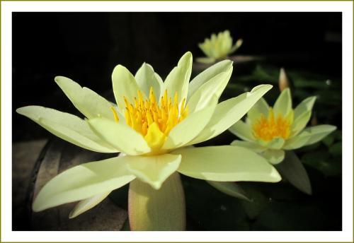 Solitary Journey [1635] 大好きな蓮の花を撮りに行ってきました。植物の中で最も古いもののひとつです。<薬師公園>広島県北広島町