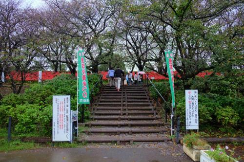 小雨の 幸手市の権現堂 桜堤の曼珠沙華