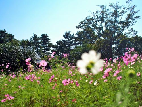 昭和記念公園でコスモス、小金井公園でゆらり