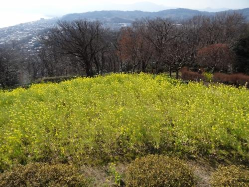 菜の花は春です