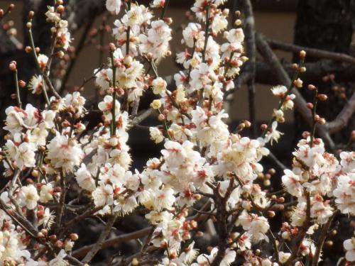 春を探しに新宿御苑へ~綺麗な寒桜とメジロに会えました♪
