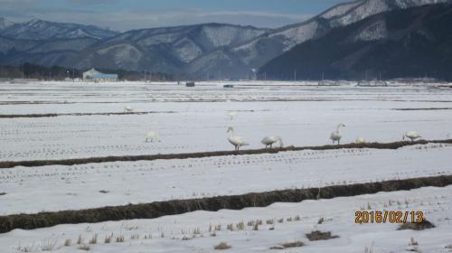 鏡のように静かな猪苗代湖に白鳥を訪ねてみました。
