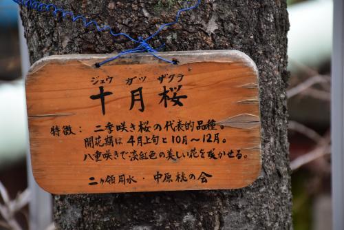 河津桜が咲き始めた二ヶ領用水 2016(川崎市中原)