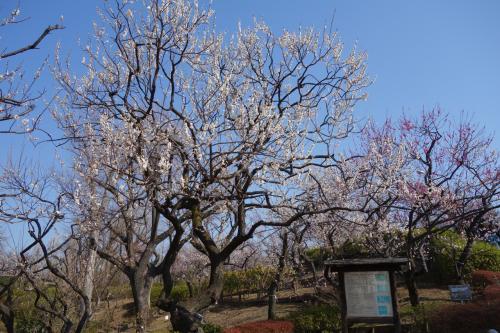せたがや梅まつり in 羽根木公園(『八分咲き』って情報に釣られて出かけたら・・)