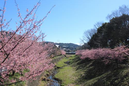 伊豆に行かなくったって 近場で河津桜の並木が見れました♪
