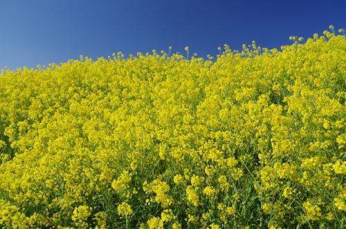 菜の花と空の青ー流山天国