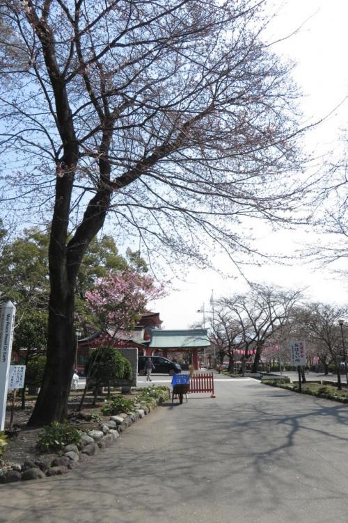 いつもの散歩道~浅間大社に春が来た