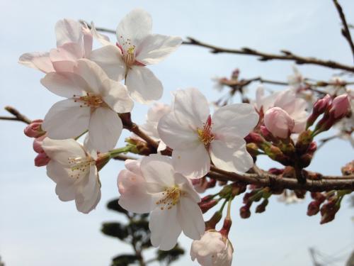 *:.春爛漫.:  桜色に染められて歩こう~至福の花人♪