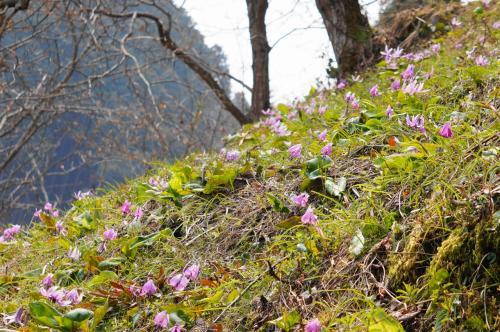 春の妖精・カタクリとオオイトザクラ