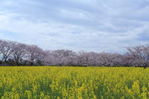 奈良 桜めぐり~醍醐池、長岳寺、幾坂池堤、内山永久寺跡