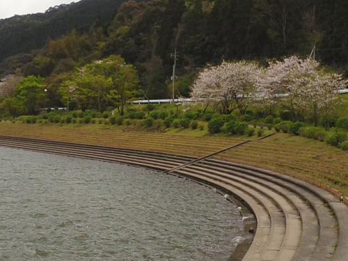 大隅湖の桜を見に行ってきました