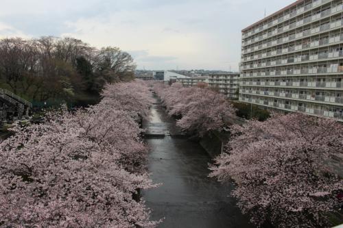 町田ご近所 桜サイクリング 第1弾!