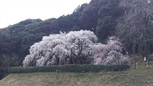 春ドライブ2016~奥山田のしだれ桜&サツキとメイの家~
