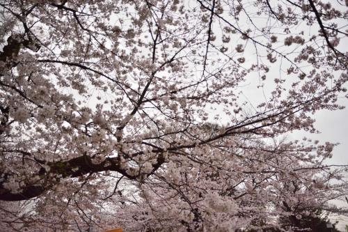 亥鼻公園の桜と城郭風の郷土博物館「千葉城」