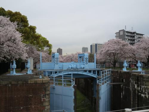 桜を追い駆けて「大阪城へ」