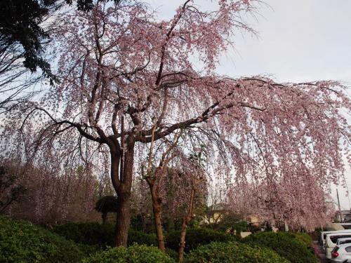 <東京・多摩エリア桜名所>まるで極楽のような桜風景~「高幡不動」& 桜色に染まる府中散歩