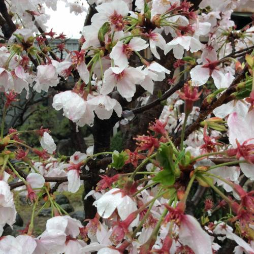 *:.春爛漫.:* 雨後の桜が心配…夕暮れ時の桜のシルエットが綺麗でした!!