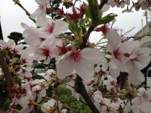 *:.'春爛漫:*.はらはらと舞い落ちる桜がみたい!*:☆