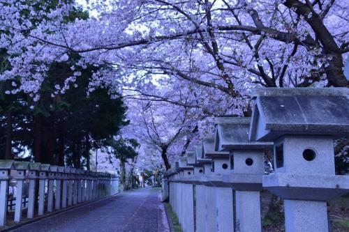 緑色の国鉄型車両103系を追いかけて、満開な桜が咲き広がる城陽・久世神社と奈良・佐保川に訪れてみた