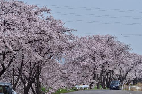 第40回各務原市桜まつり 20万人の広場