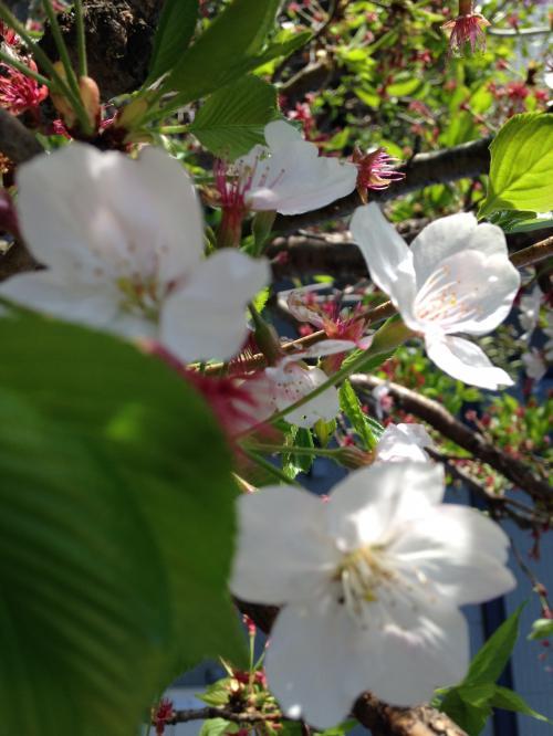 桜咲く信濃路を残雪の奥志賀高原へ(^^♪