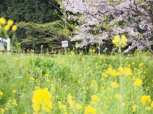 今年最後の桜、 桜舞い散る飯給駅で