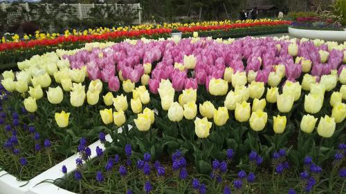 桜とチューリップの共演!浜松フラワーパークでお花見