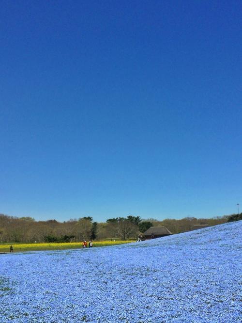 やっぱり青が好き/天空の瑠璃唐草(ネモフィラ)と化石海岸【Whole Blue World】