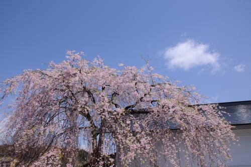 逃げる桜前線を追って【3】~当たり年の角館の桜~