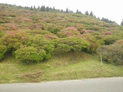 高峠のツツジを見に行ってみよう ※鹿児島県垂水市