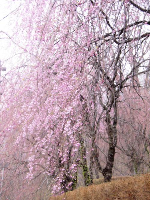 北東北の桜を訪ねて 3泊4日の旅 5−2 弘前城 編