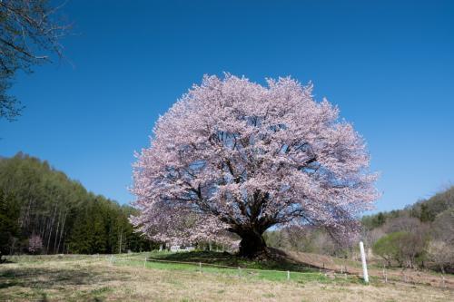 今年の桜見納めは片品村の一本桜