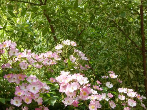大阪南部をブラブラ・・・ バラが満開の「花の文化園」~千早の森の古民家カフェへ♪