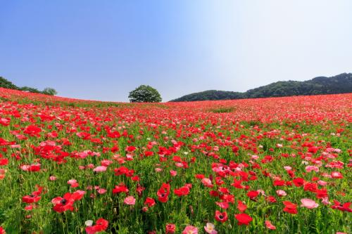 標高500mの赤い絨毯~天空のポピー~