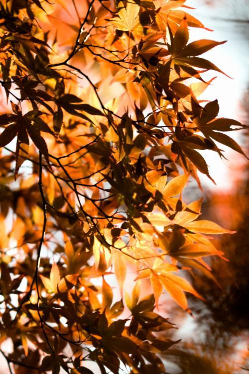 上尾丸山公園菖蒲祭り