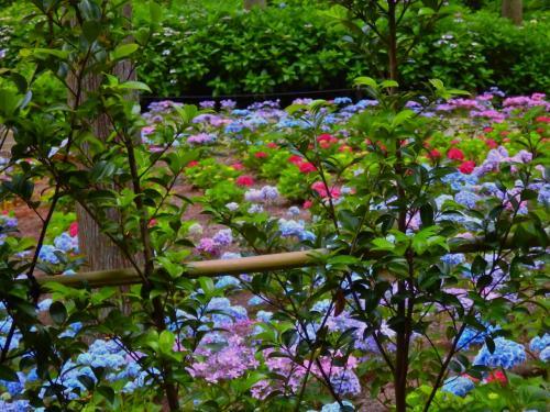 今宵 三室戸寺に 行ってきました! ~花言葉は移り気 そんな紫陽花がぶれることなく美しく咲いていた~