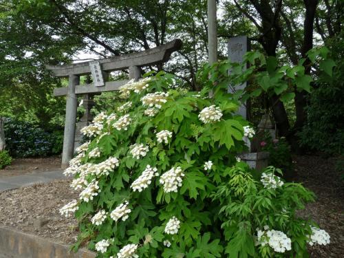 長柄神社のアジサイ_2016_咲き始めました。(群馬県・邑楽町)