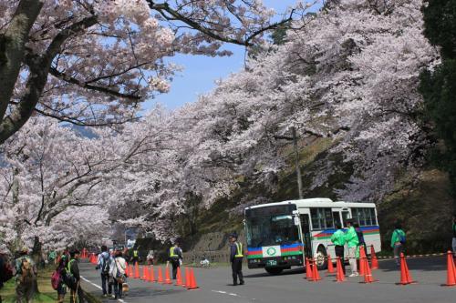 青春18切符一人旅 海津大崎満開の桜並木~大崎寺~清水の桜