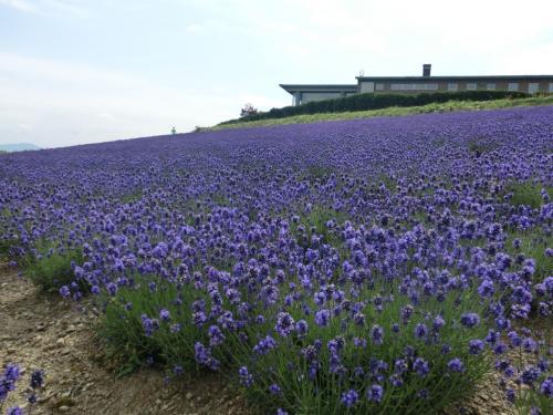 北海道・初夏の花園に行ってみた!~浦臼町のラベンダー園と秩父別ローズガーデン!